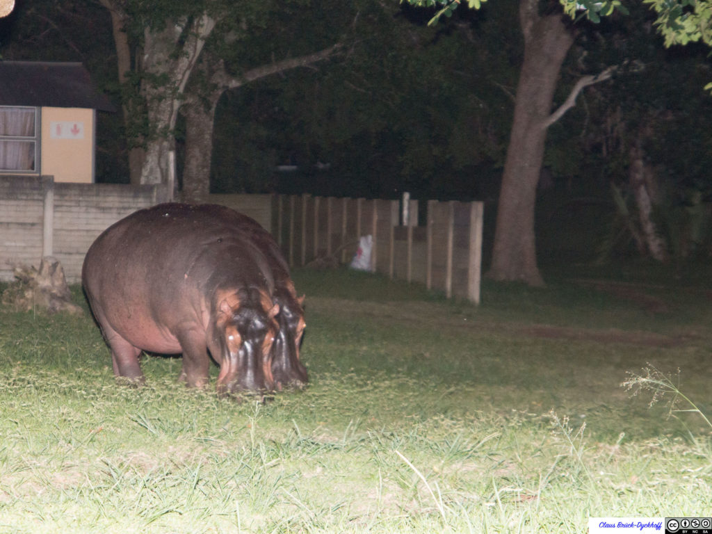 Hippos in St. Lucia I