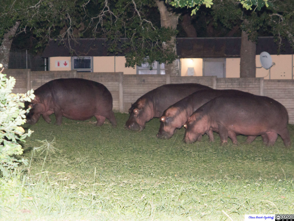 Hippos in St. Lucia II
