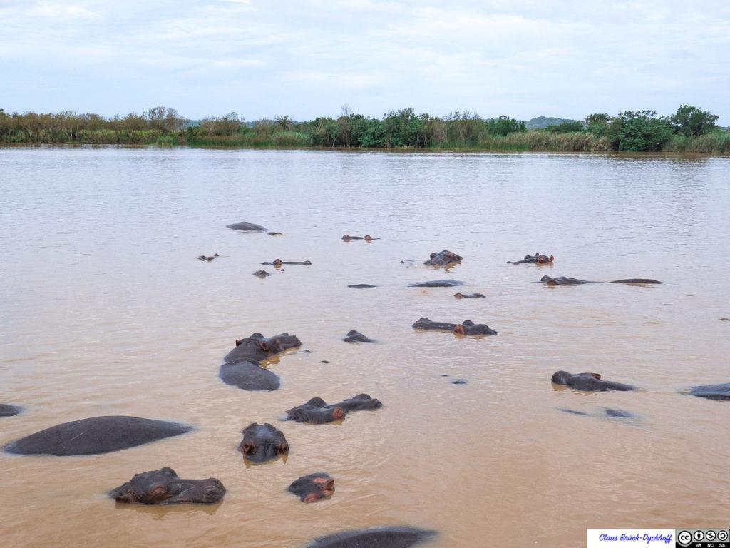 Hippos Lake St. Lucia I
